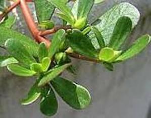گیاه حنا