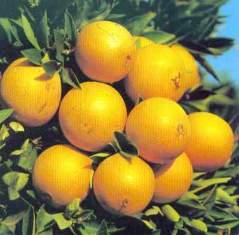 پرتقال و خواص دارويی آن